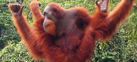 Here is an orangutan as a comment on Donald Trump's hair.